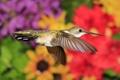 Картинка птица, крылья, клюв, колибри