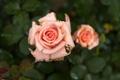 Картинка цветы, роза, макро. роса
