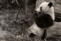 Картинка ветки, чёрно-белая, панда