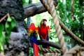 Картинка птицы, синий, красный, попугаи, два
