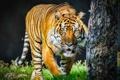 Картинка язык, морда, тигр, хищник, дикая кошка