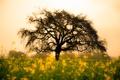 Картинка поле, цветы, природа, дерево, жёлтые