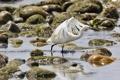 Картинка вода, блики, камни, птица, белая цапля