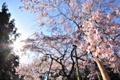 Картинка солнце, лучи, деревья, цветы, вишня, настроение, обои