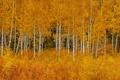 Картинка осень, листья, деревья, Вайоминг, США, роща, Grand Teton National Park