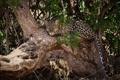 Картинка морда, ветки, дерево, отдых, листва, хищник, леопард