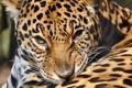 Картинка panthera onca, хищник, морда, ягуар