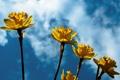 Картинка нарциссы, весна, желтый, Narcissus, daffodils, цветы