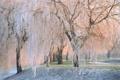 Картинка зима, иней, деревья, природа, ивы