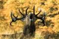 Картинка осень, природа, олень