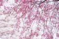 Картинка небо, деревья, цветы, ветки, природа, весна, бутоны