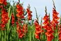 Картинка крупным планом, трава, природа, зелень, красные, Гладиолусы