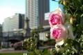 Картинка фон, куст, розы, розовые, бутоны