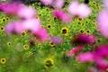 Картинка поле, подсолнухи, цветы, фокус, размытость, розовые