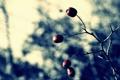 Картинка макро, природа, ягоды, фото, обои, растения, ветка