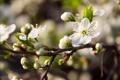 Картинка цветок, макро, вишня, весна, цветет, цветение