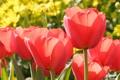 Картинка цветы, красный, весна, тюльпаны, бутоны