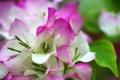 Картинка листья, цветы, розовые, белые