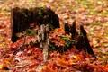 Картинка листья, осень, труха, пень, природа, сухие, желтые