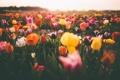 Картинка цветы, тюльпаны, много
