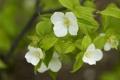 Картинка листья, макро, ветка, цветение, родотипос, розовик