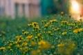 Картинка блики, солнце, клумба, желтые, цвет, размытость, растения