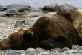 Картинка камни, фото, берег, сон, медведи, лежат