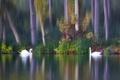 Картинка осень, птицы, озеро, парочка, лебеди