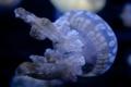 Картинка медуза, океан, подводный мир, темный фон., щупальца, вода, макро