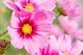Картинка цветок, лето, макро, цветы, розовый