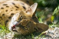 Картинка морда, ©Tambako The Jaguar, сервал, взгляд, кошка