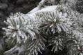 Картинка зима, иней, ветви, ель