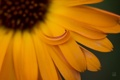 Картинка цветок, лепестки, календула