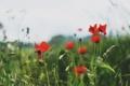 Картинка поле, трава, цветы, маки, размытость
