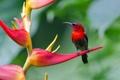Картинка цветок, птица, растение, нектарница, желтоспинная, острохвостая, геликония-когти омара
