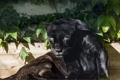 Картинка кошка, взгляд, солнце, пантера, черный ягуар, ©Tambako The Jaguar