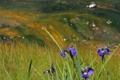 Картинка лето, трава, цветы, фото, гора, ирис