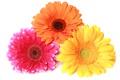 Картинка макро, цветы, colorful, гербера, gerbera