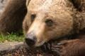 Картинка взгляд, медведь, зверь