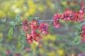 Картинка ветка, айва, розовые, цветы