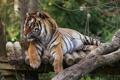 Картинка кот, полоски, тигр, животное, хищник