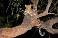 Картинка взгляд, ночь, дерево, хищник, леопард, котёнок