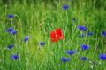 Картинка поле, трава, цветы, мак, луг, васильки