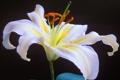 Картинка черный фон, Oriental Lily, белый, цветок