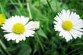Картинка желтый, ромашка, трава, растение, ромашки, цветок, природа