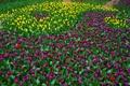 Картинка фиолетовые, тюльпаны, желтые, разноцветные, много