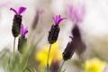 Картинка lavender, цветок, макро