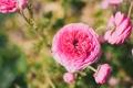 Картинка цветы, лепестки, ранункулюс