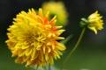 Картинка цветок, лепестки, цветение, георгин, желто-оранжевый