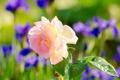 Картинка листья, фон, розовая, роза, размытость, ирисы